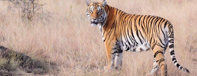 डेढ़ घंटे बाघ की आंखों में आंखे डालकर बचाई अपनी जान, बाघ के इरादों को किया नाकाम